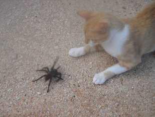 cat-and-tarantula-2